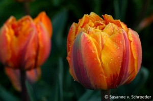 tulipa orange princess